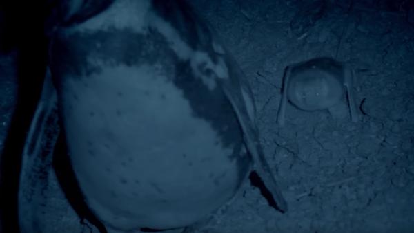 La asquerosa técnica de los pingüinos contra los murciélagos - Sputnik Mundo