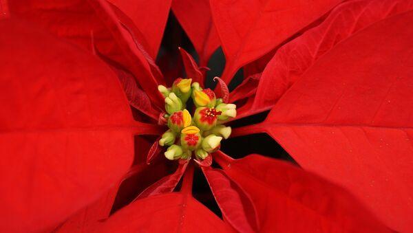 Flor de Nochebuena - Sputnik Mundo