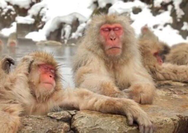 Así es como se relaja: descubre un 'centro de spa' para los monos