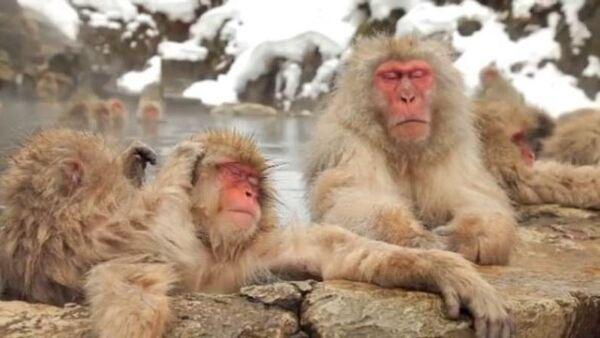 Así es como se relaja: descubre un 'centro de spa' para los monos - Sputnik Mundo
