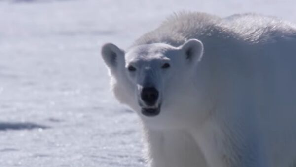 Si este oso polar no caza a una foca, su otro alimento potencial será… el equipo de filmación - Sputnik Mundo