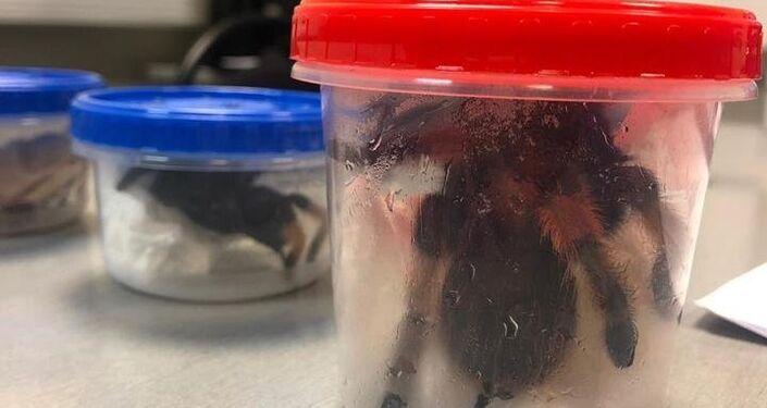 Arañas mexicanas encontradas en equipaje de un ruso en el aeropuerto de Moscú