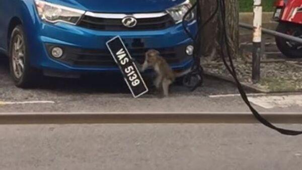 Un robo a plena luz del día: un mono se lleva la placa de un automóvil - Sputnik Mundo