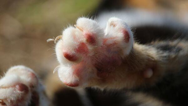 Un gato, imagen referencial - Sputnik Mundo