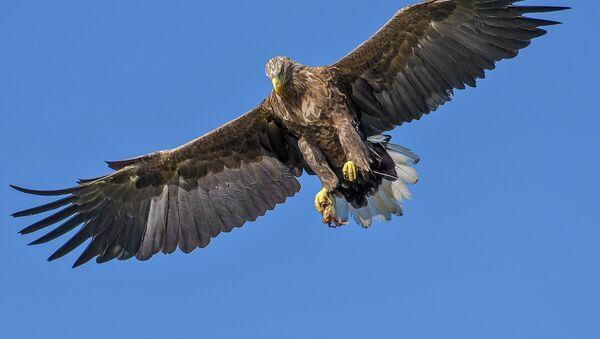Un águila - Sputnik Mundo
