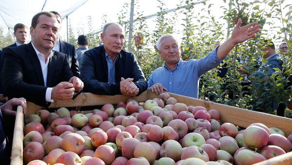 El presidente ruso, Vladímir Putin, y el primer ministro, Dmitri Medvédev, inspeccionan huertos de manzanas de la empresa agrícola Rassvet en la región de Stávropol en octubre de 2018 - Sputnik Mundo