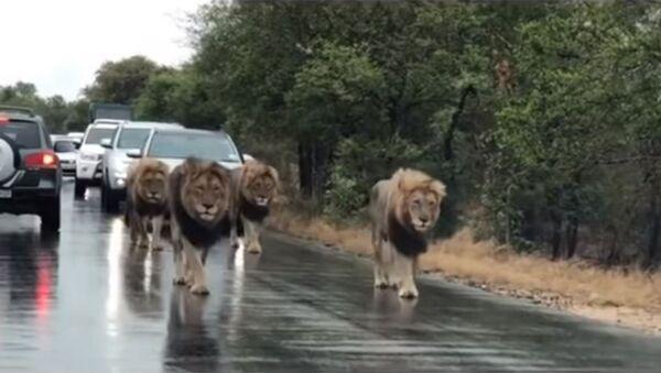 Un paseo de leones causa un atasco: sin prisa alguna - Sputnik Mundo