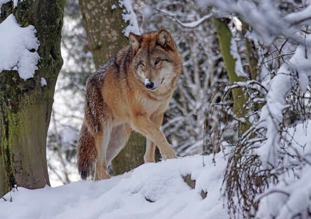 Un lobo (archivo)