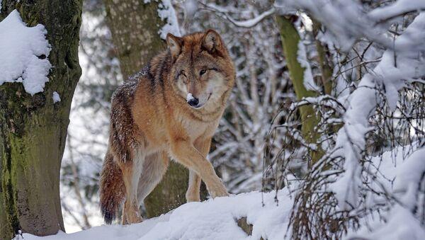 Un lobo (archivo) - Sputnik Mundo