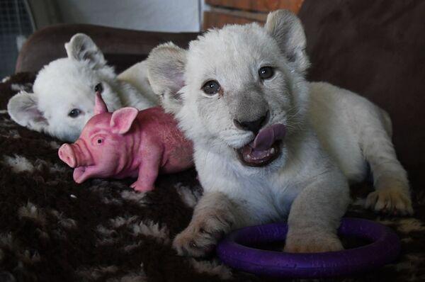 Cachorros de león blanco - Sputnik Mundo