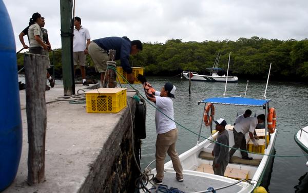 Embarque de las Iguanas Conolophus subcristatus en Seymour Norte, con destino a Isla Santiago, en Islas Galápagos - Sputnik Mundo
