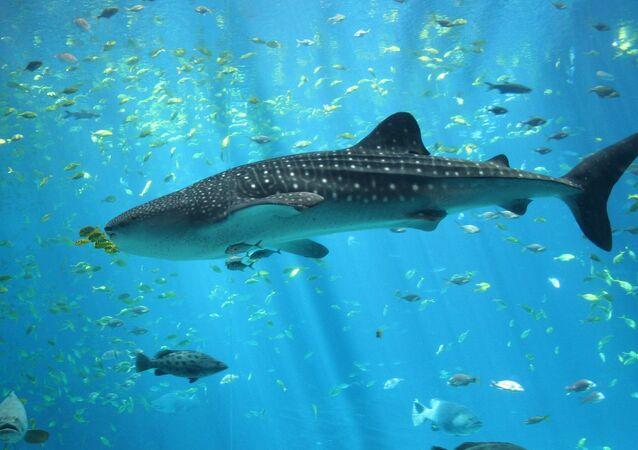 Un tiburón del orden de los orectolobiformes