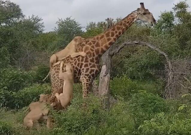 Una jirafa repele el ataque de unos leones