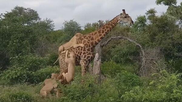 Una jirafa repele el ataque de unos leones - Sputnik Mundo