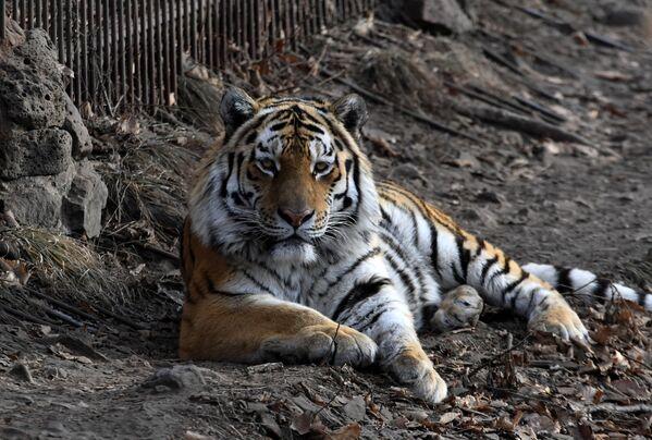 Así vive Amur el tigre siberiano más famoso de Rusia - Sputnik Mundo