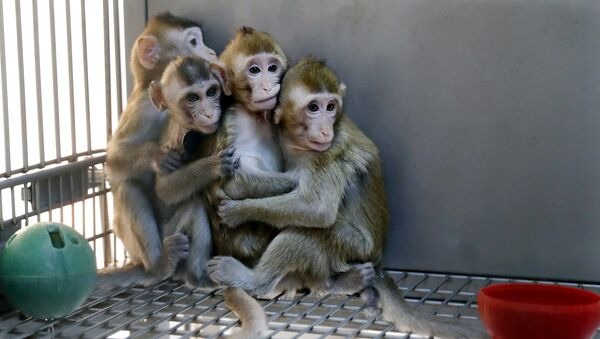 Monos clonados por los científicos chinos - Sputnik Mundo