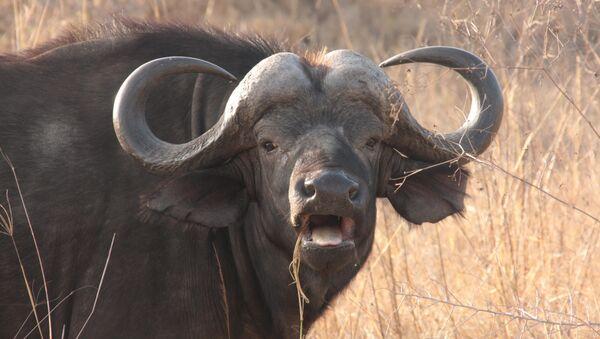 'San Fermín a la china ': un búfalo agresivo irrumpe en un restaurante - Sputnik Mundo