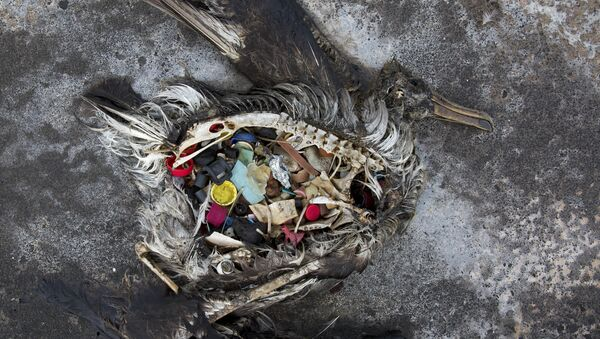 Un ave con plástico en el estómago - Sputnik Mundo