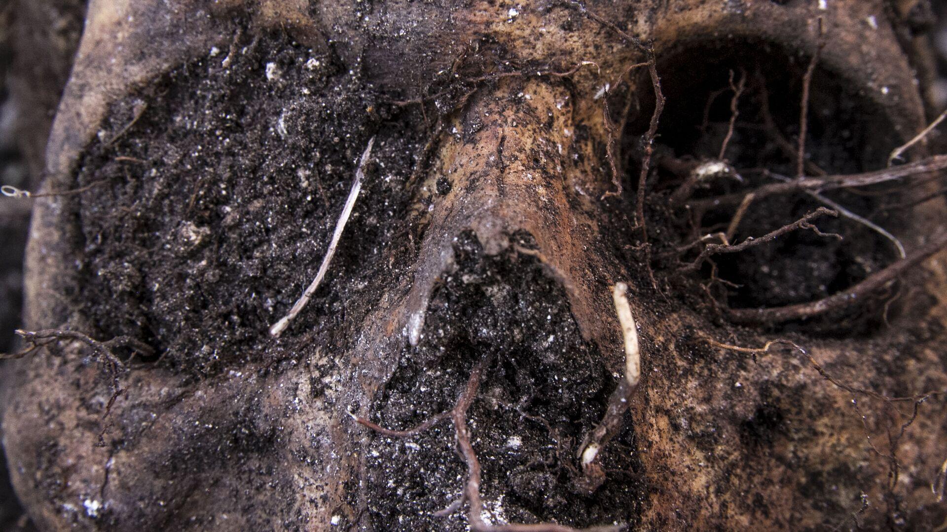 Huitzuco, Guerrero. Cráneo localizado en una fosa clandestina. - Sputnik Mundo, 1920, 15.09.2021