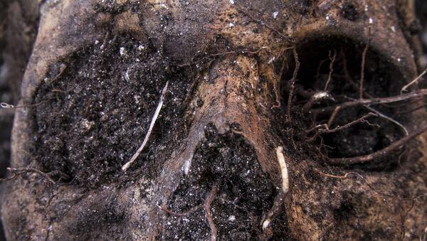 Cráneo localizado en una fosa (imagen referencial) - Sputnik Mundo
