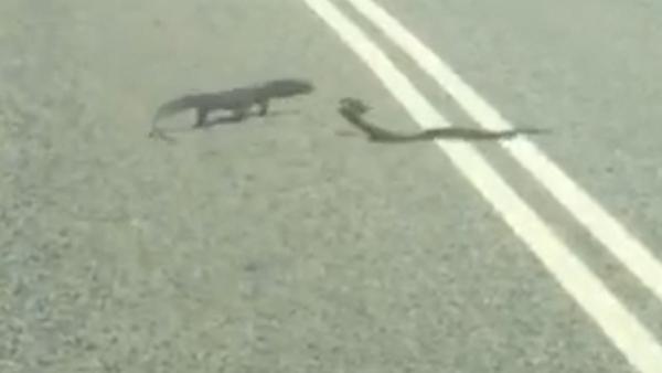 Épica batalla entre una serpiente y una lagartija - Sputnik Mundo