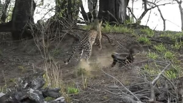 Una tejón ataca a un leopardo - Sputnik Mundo
