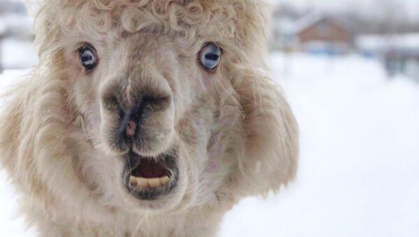 Una alpaca en el invierno ruso - Sputnik Mundo