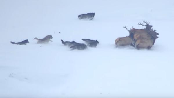 El desesperado intento de una manada de lobos de atacar a varios ciervos - Sputnik Mundo