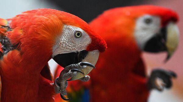 Красный ара в Московском зоопарке - Sputnik Mundo