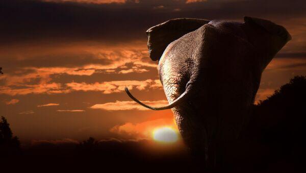 Silueta de un elefante - Sputnik Mundo