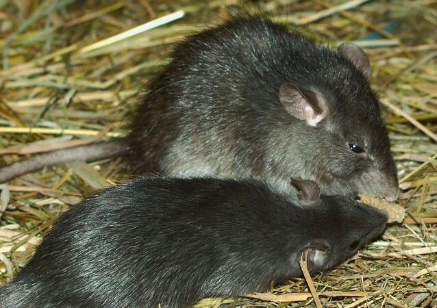 Rattus rattus (rata negra)