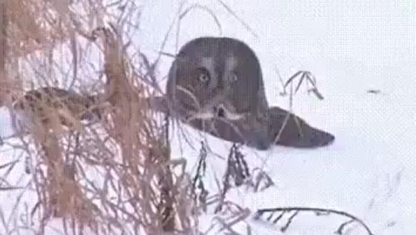 Atrápame si puedes: un búho bucea en la nieve para alcanzar a su presa - Sputnik Mundo