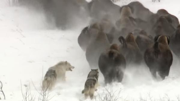 Atrápame si puedes: tres lobos dan caza a un rebaño de búfalos - Sputnik Mundo