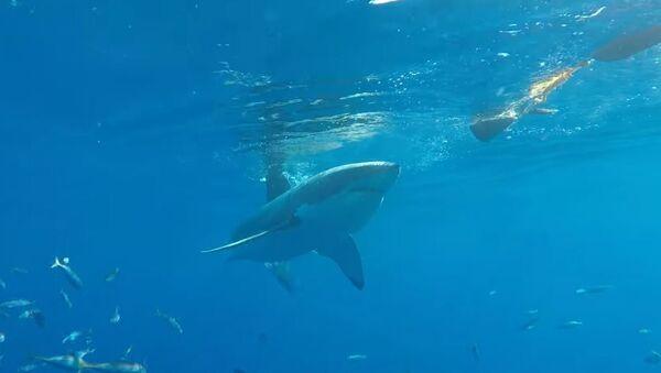 Un tiburón blanco intenta penetrar en la jaula de un buceador - Sputnik Mundo