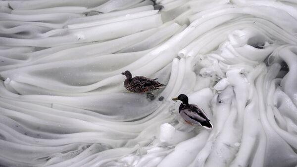 Un macho y una hembra de patos en el hielo del río Moskova - Sputnik Mundo