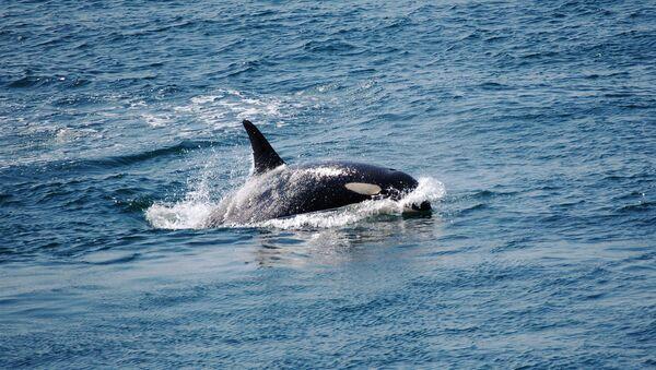 Una orca (imagen referencial) - Sputnik Mundo