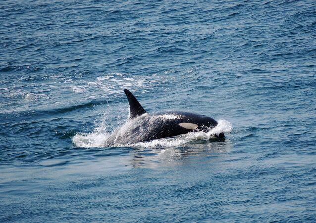 Una orca (imagen referencial)
