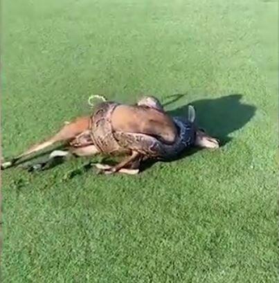 Un abrazo mortal: una enorme pitón mata a un antílope en medio de un campo de golf