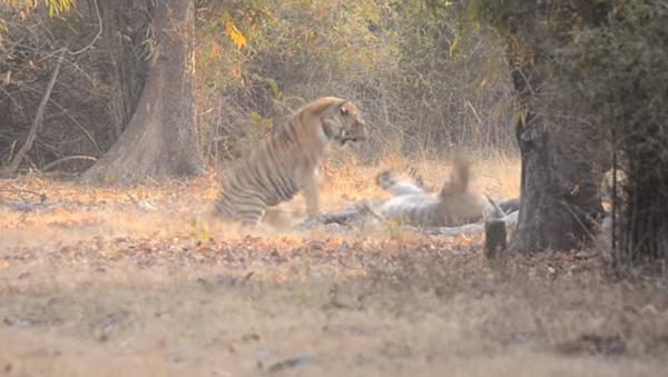 Dos tigres protagonizan una feroz pelea en la India - Sputnik Mundo