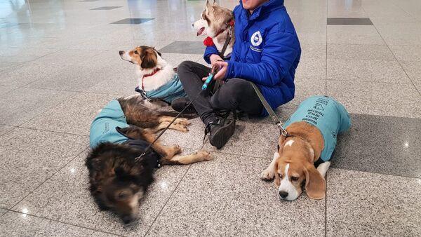 Los perros que trabajan en el aeropuerto de Domodédovo - Sputnik Mundo