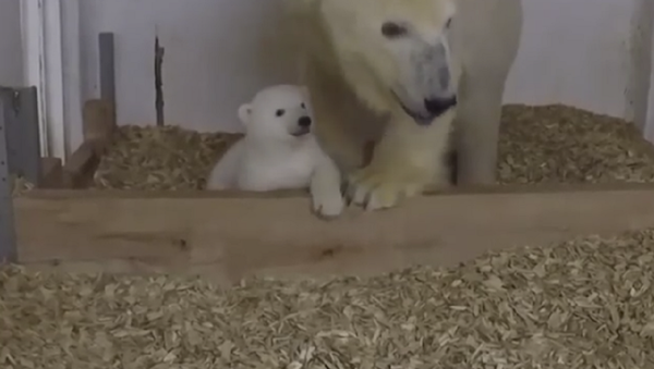 ¡Esta tierna osita polar del zoo de Berlín te robará el corazón! - Sputnik Mundo