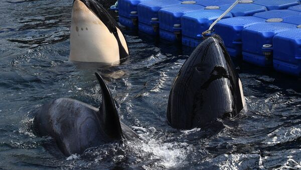Orcas en la bahía Srédnyaya, en la costa rusa del Pacífico - Sputnik Mundo