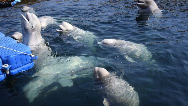 Belugas en la bahía Srédnyaya, en la costa rusa del Pacífico - Sputnik Mundo