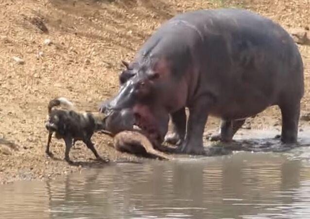 Un hipopótamo lucha contra perros salvajes