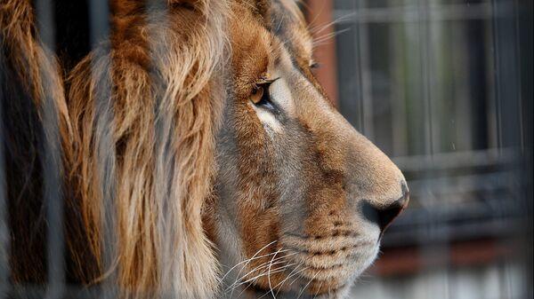 Un león (imagen referencial) - Sputnik Mundo