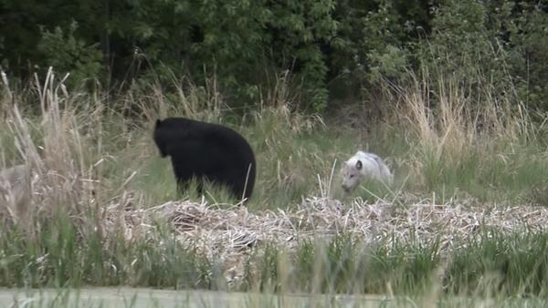 Unos lobos marean a un oso - Sputnik Mundo