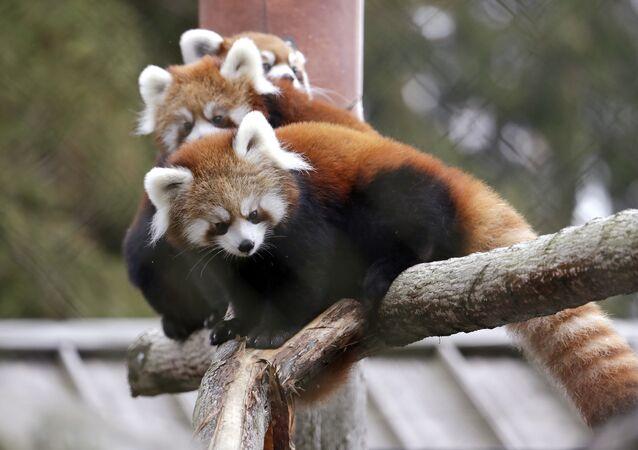Cachorros de panda rojo (archivo)