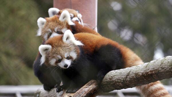 Cachorros de panda rojo (archivo) - Sputnik Mundo