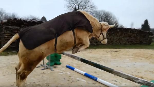 Conoce a Aston, el toro que se cree caballo - Sputnik Mundo