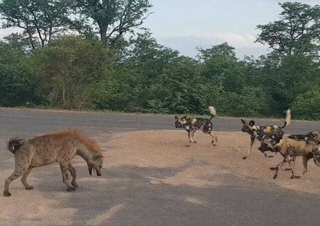 Una hiena se opone a perros salvajes